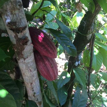 The Heritage of Cocoa in Trinidad and Tobago
