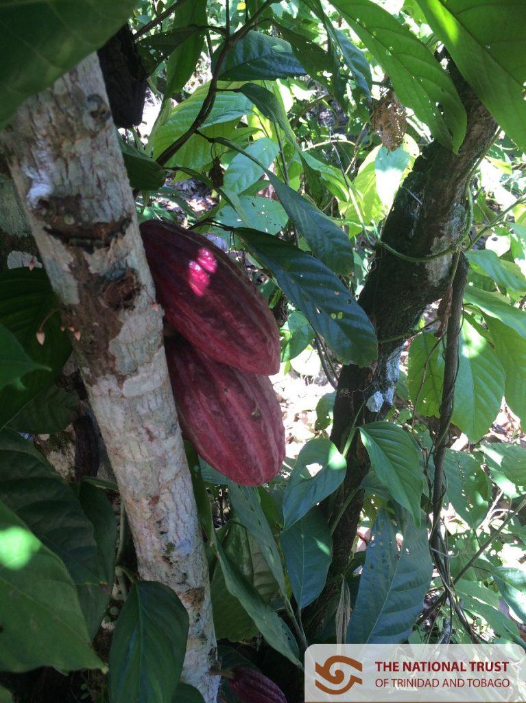 cocoa-heritage01