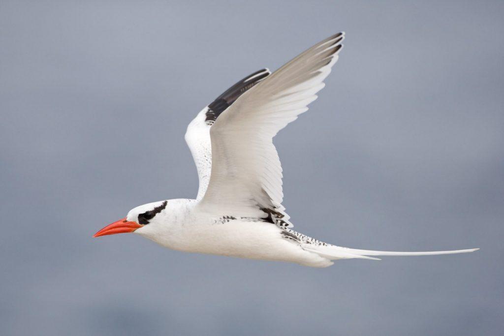 red-billed-tropicbird-in-flight